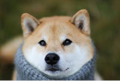 さいきょうのインスタアイドルの柴犬です! 柴犬まるのパパ:まると一緒においしくパンを食べちゃいます!