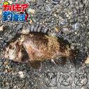 【カルモア釣査団】問答無用のカサゴ釣り
