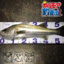 【カルモア釣査団】スズキのバチ抜けフカセ釣り