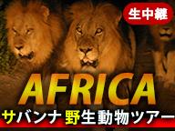 サバンナ野生動物ツアー 生中継