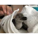 フンボルトペンギン ヒナの配信  (4日令)