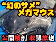 幻のサメ「メガマウス」公開解剖