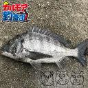 【カルモア釣査団】のっ込みクロダイを狙ったフカセ釣り!