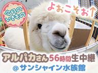 よぉこそぉ↑アルパカさん56時間生中継@サンシャイン水族館【今月のいきもの】