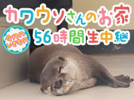 カワウソさんのお家56時間生中継@サンシャイン水族館【今月のいきもの】