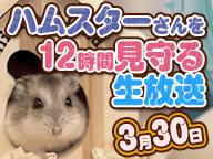 『ハムスターさんを12時間見守る生放送【3月30日】』のサムネイルの背景
